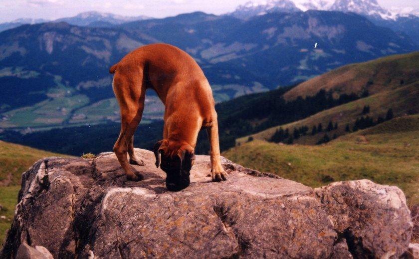 Tinka auf einem Felsen in den Alpen