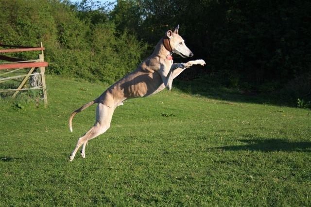 0111-06 Fewo Rothensande Windhund im Sprung