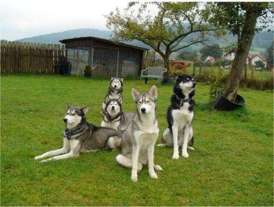 0247-18 Ferienhäuser Rieger Huskies im Garten
