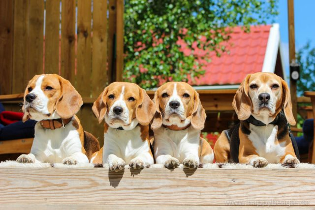 0394-08-Beagle-Rudel-im-roten-Sommerhaus