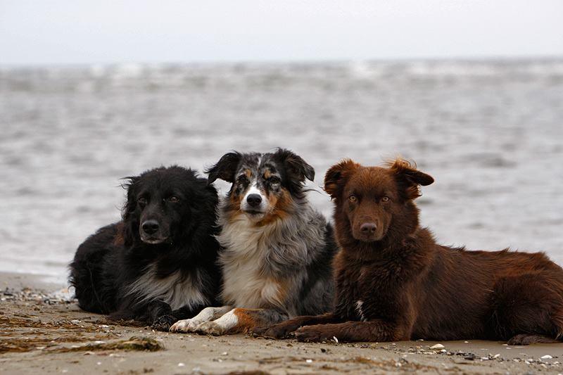 12. Platz: Wolf, Ayasha und Piper am Strand auf Usedom