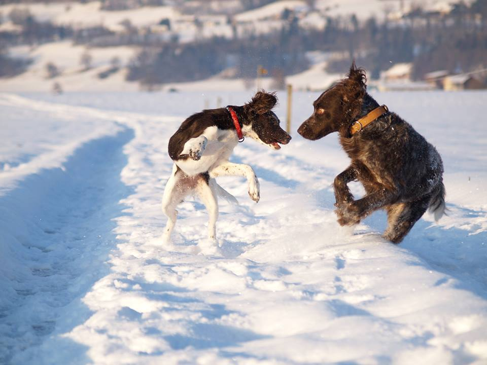 Beatrice Zbinden - Chester und Assira im Berner Oberland im Schnee 01