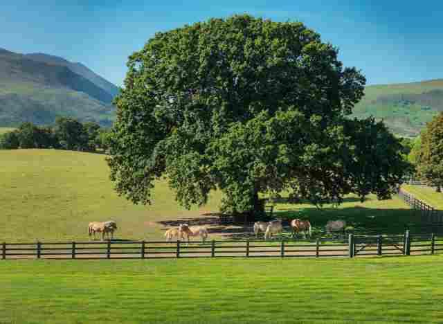 0397-12 Hotel The Dunloe Baum mit Pferden
