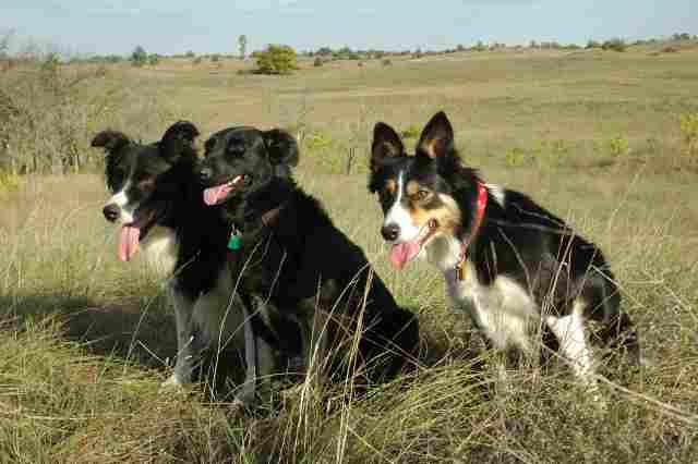 0750-13 Tanya Boroka Hunde auf der Wiese
