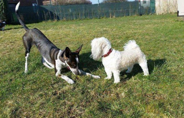 0856-03 FeHa Moerlen Hunde beim Spiel