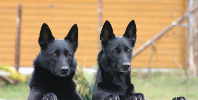 0859-29 Allebuesch Hunde 2