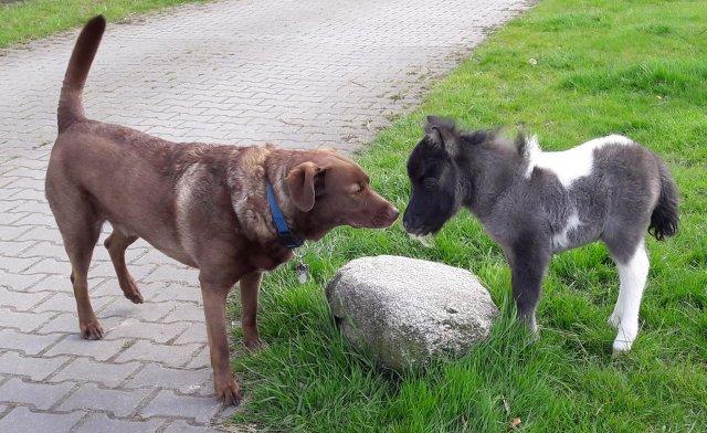 0873-03 Vosshoernerhof Hund und Shettyfohlen