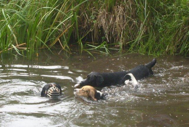0912-03 Strochennest Hunde im Wasser